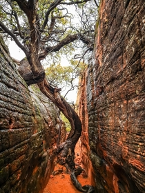 A very old tree in a slot canyon in the Red Cliffs Desert Reserve St George Utah