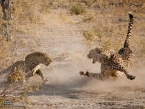 A very rare adrenaline-packed showdown between two spotted predators a male cheetah and a female leopard