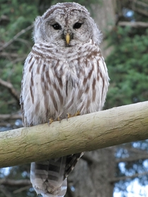 A visitor at my parents house this weekend- Barred Owl