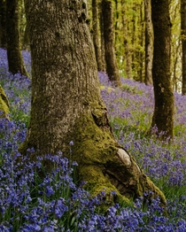 A walk among the bluebells leaving everything like a fairytale Brecon Beacons National Park Wales