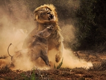 A warthog and lion in combat