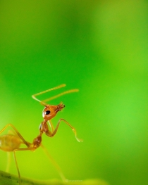 A weaver ant I shot in my parents backyard