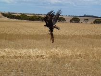 A wedge-tailed eagle taking a fox  crosspost rAustralia
