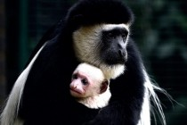 A week-old Colobus monkey being cradled by his mother