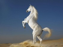 A white Arabian horse stallion