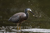A white faced heron catching a green prawn