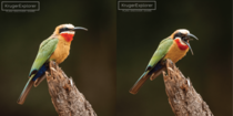 A white-fronted bee-eater regurgitates the exoskeletons of bugs that it is unable to digest