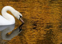 A white swan swims in a pond at the Summer Garden in central St Petersburg