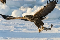 A White-tailed Eagle Haliaeetus albicilla catching a fish  by Hidetoshi Kikuch