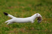 A White weasel running with his prey