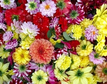 A whole bunch of Dahlia flowers