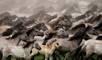 A wild horse herd runs near Duelmen Germany