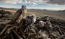 A wild saker falcon mother and her chicks high over the steppe of Central Mongolia