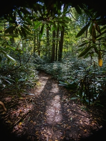 A winding trail through a thicket of Rhododendrons in the mountains of central Pennsylvania  x