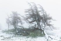 A windswept group of trees at the top of Gummers How surrounded by the mist and snow The Lake District