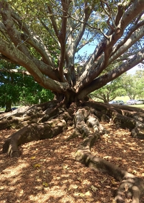 A wise old tree where the roots mirror the branches Auckland New Zealand x