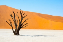 A witness of time in the Namib Desert This tree may be older than  years Namibia