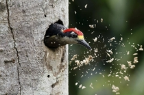 A woodpecker in Limon Costa Rica