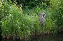 A yawning Canada lynx lynx canadensis in tall marsh grass at the edge of pond Photo by Stephen J Krasemann  x-post rLynxes