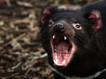 A yawning Tasmanian devil at a quarantine facility in Hobart Tasmania The site monitors the animals for signs of devil facial tumor disease DFTC Photo by Ian Waldie  x-post rTasmanianDevils
