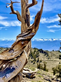 A  year old Ancient Bristlecone Pine overlooking the Sierra Nevadas
