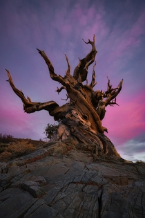 A  year old tree watches another sunset turn to night in the bristlecone forest OC  ross_schram
