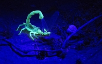 A Yellow Scorpion eats his prey near Sde Boker in the Negev Desert Israel on August   Scorpions have chemicals in their cuticle that naturally fluoresce when viewed under black light