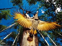 A Yellow-Shafted Flicker