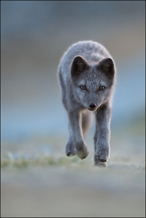 A young Arctic Fox by Georg Scharf