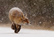 A young foxs first snow