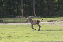 A young Grants zebra Equus quagga boehmi enjoying a cool day at the amazing Burgers Zoo savanna exhibit One of the best I have seen worldwide Most of Africas big mammals are threatened by loss of habitat and hunting Grants zebras are still numerous but mo