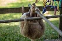 A young Hoffmans Two Toed Sloth trying to find hibiscus petals on their jungle gym This one is well on the path to release back into the wild