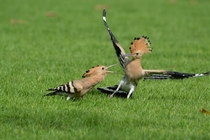 A young Hoopoe Upupa epops and its parent by Jaiprakashsingh