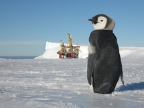 A young penguin watches the action at Halley Antarctic Research Station