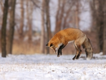 A young red fox learning to hunt Denis Dumoulin