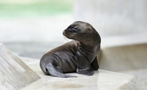 A young sea lion sits in his enclosure at a zoo in Munich Germany