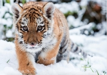 A young Siberian tiger Dragan makes its way through the snow in its enclosure at the zoo in Eberswalde Germany