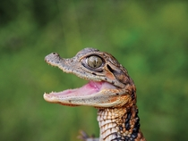 A young spectacled caiman