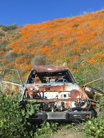 Abandoned car in poppy fields
