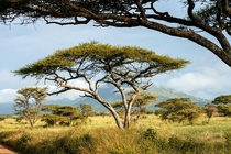 Acacia trees on the Serengeti Tanzania