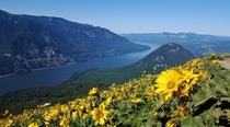 Acres of balsamroot Wind Mountain and the Columbia River Gorge from Dog Mountain WA USA