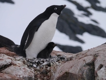 Adelie Penguin Pygoscelis adeliae and chick
