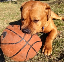 Adopted this beautiful goldenrottweilerpitshepard from the humane society st thing he did at his new home was destroy my basketball Who cares look at him