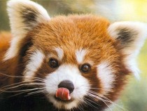 Adorable red panda Ailurus fulgens