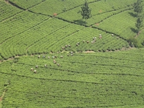 Aerial photo of a tea plantation on the island of Java Indonesia