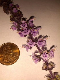 African Blue Basil blossoms