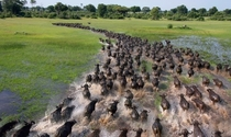 African Buffaloes Migrating Breathtaking