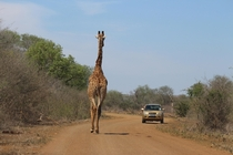 African Bush Traffic - Kruger Park South Africa