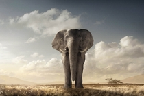 African Elephant composite by Chris Clor