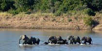 African elephant family in Zambia